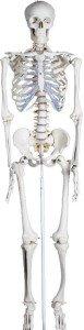 Skelett Bestseller Standardskelett