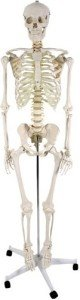 Skelettmodell Vergleich und Skelett Test