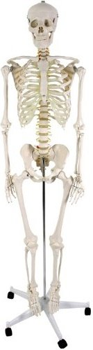 Standardskelett Vergleich und Skelett Test