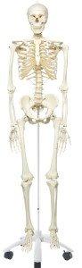 Anatomisches Lernskelett