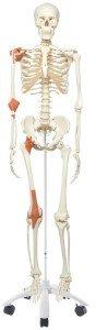 Skelett mit Bänder und Sehnen