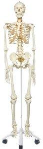 Flexible Wirbelsäule Flexibles Skelett Therapieskelett Skelett Physiotherapie