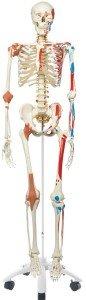 Laborskelett Skelett mit Gelenkbänder Skelett mit Muskelansätze FLexibles Skelett
