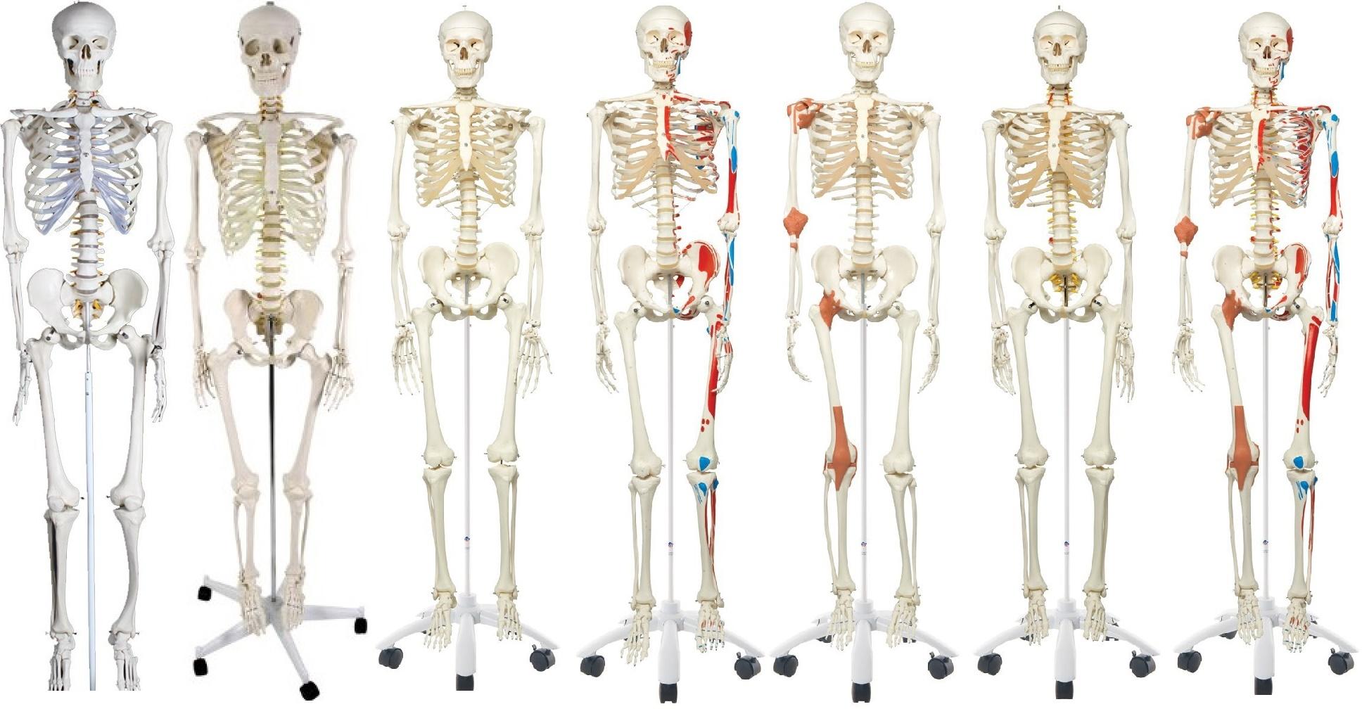 Anatomie Skelett Test - Skelettmodell Vergleich mit Tabelle Top 7