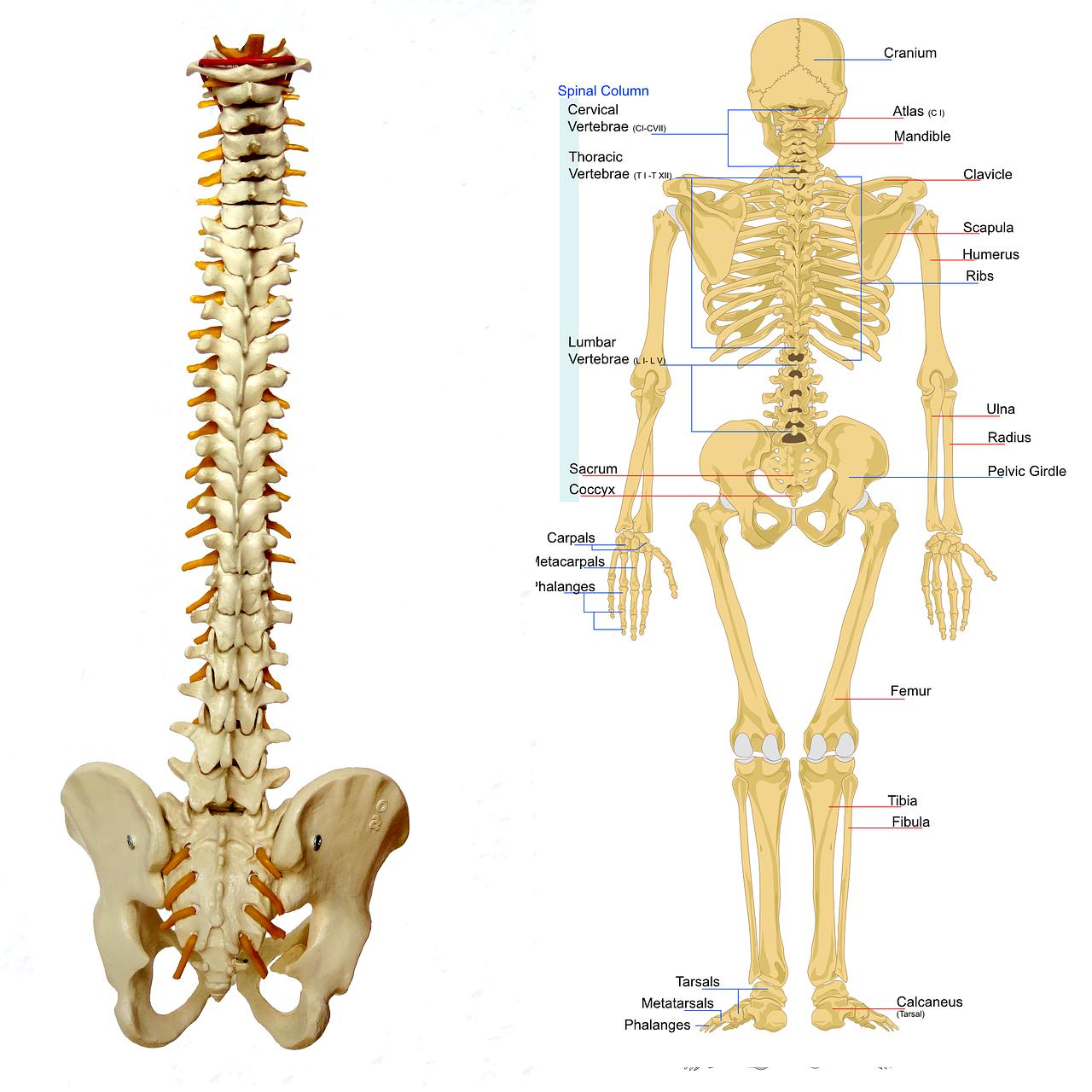 Anatomie lernen Skelett mit flexibler Wirbelsäule
