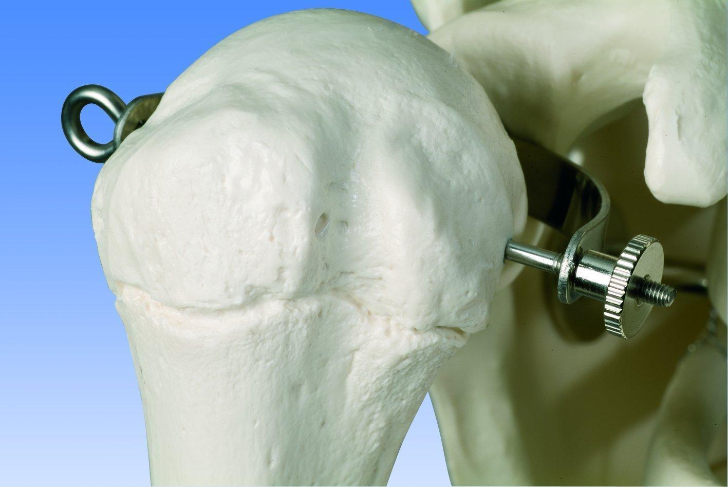 Schultergelenke Skelettmodell zum lernen