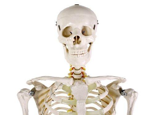 Skelettmodell mit Zahn