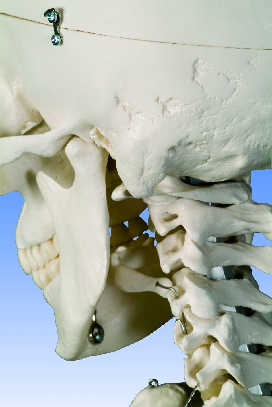 Skelettschädel öffnen Studienskelett