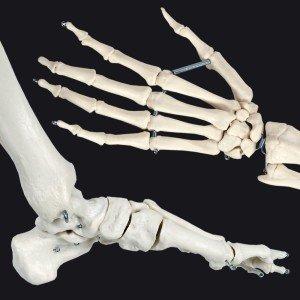 menschliches Skelett kaufen 1