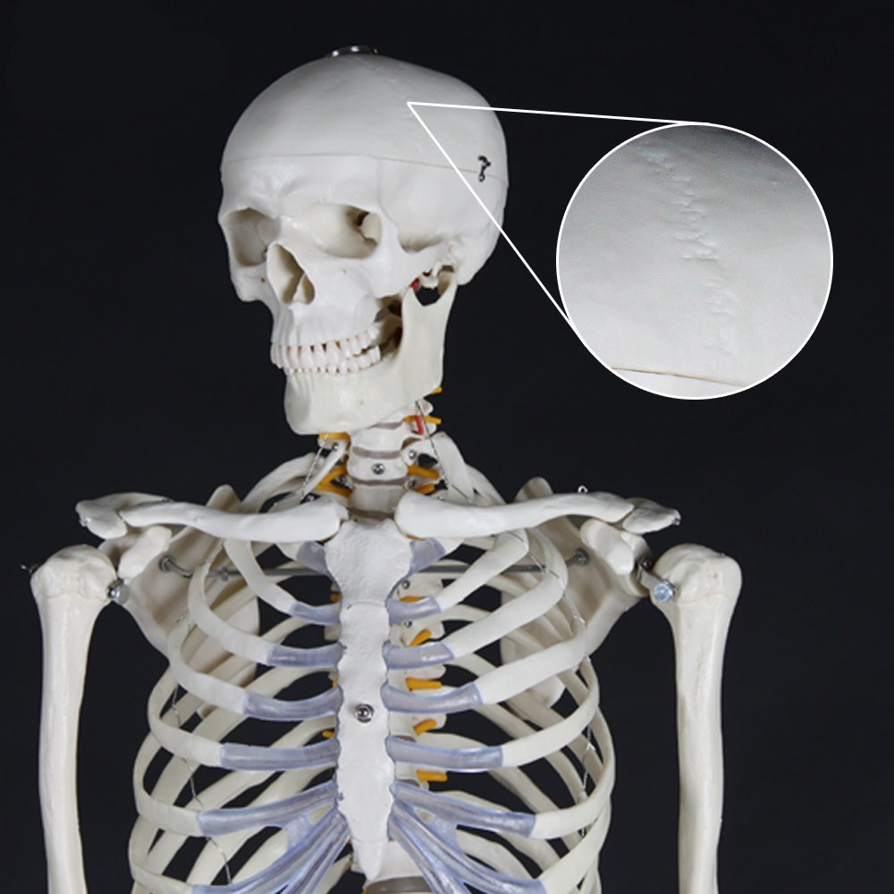 menschliches Skelettmodell kaufen 2