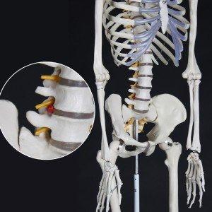 menschliches Anatomieskelett kaufen 3