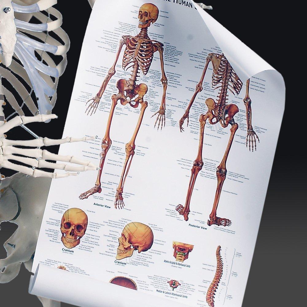 Anatomie plakat