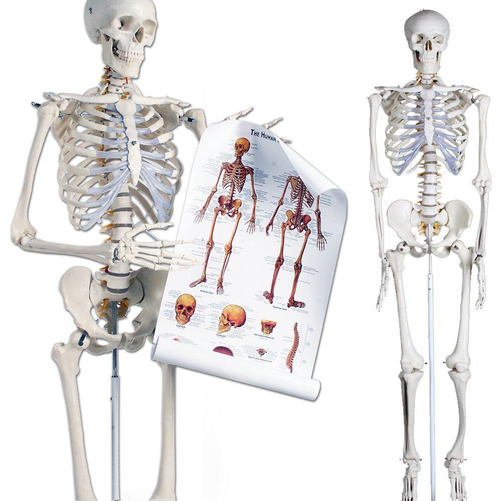 Skelettmodelle kaufen
